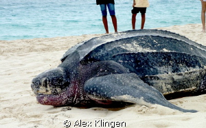 Taken a while ago, just found the pics. Giant leatherback... by Alex Klingen